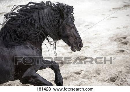 Friesian Horse Galloping Picture Friesian Horse
