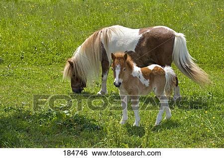stock bilder shetland pony pinto stute und fohlen 4 wochen old auf a pasture. Black Bedroom Furniture Sets. Home Design Ideas