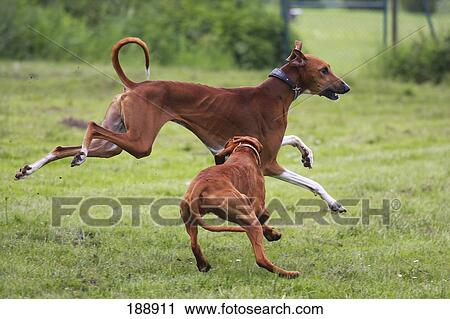 Stock Photography of Azawakh and Hungarian Vizsla running on a ...