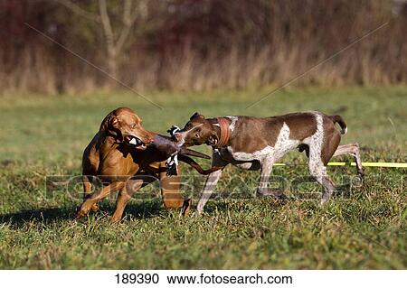 Stock Photography of Hungarian Vizsla and mixed-breed dog fighting ...