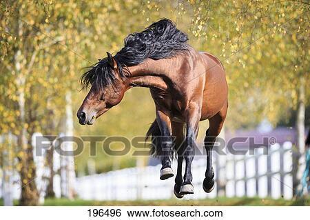 banque d 39 images pur espagnol cheval andalusian baie talon lessivage sur a pasture. Black Bedroom Furniture Sets. Home Design Ideas