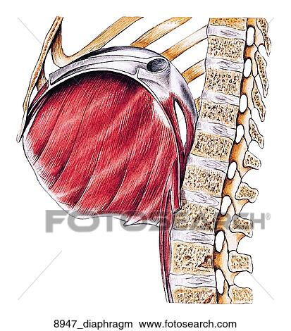 Drawings of Right Half of Diaphragm of Female Muscular ...