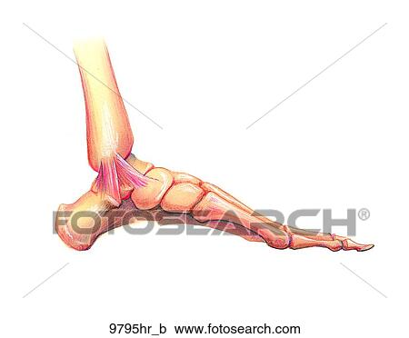 Stock Illustrations of Foot Medial View Unlabeled 9795hr_b ...