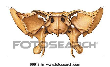stock illustration of sphenoid bone of skull anterior view, Human Body