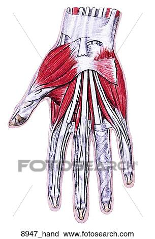 Clipart Of Muscles Of Right Hand Palmar View Of Female Muscular