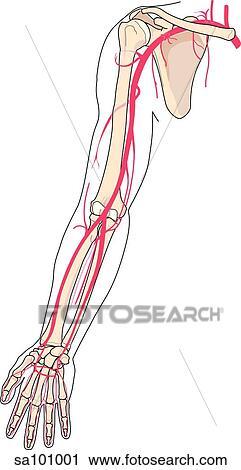 Leerdoelen - angiologie - stamarterien van arterien ...