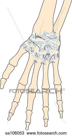 手背骨骼结构图