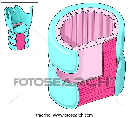 clip art of tracheal rings tracring - search clipart, illustration, Human Body