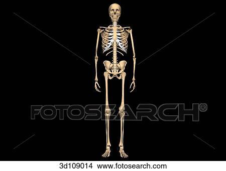 スケッチ - 前方の眺め, の, ∥, 骨格, bones.. Foto... 前方の眺め, の