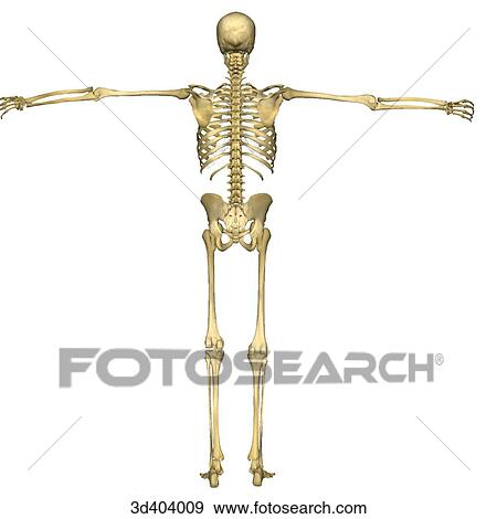 stock illustration of posterior view of a full human skeleton with, Skeleton