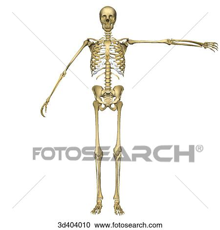 Stock Illustrations Of Anterior View Of A Full Human Skeleton With