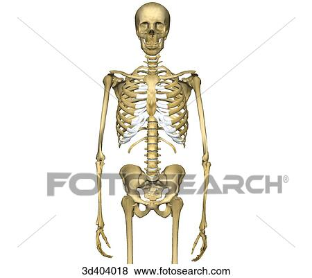 Stock Illustration Of Anterior View Of Human Skeleton From Mid Thigh