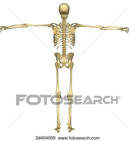 Stock Illustration Of Posterior View Of A Full Human Skeleton With