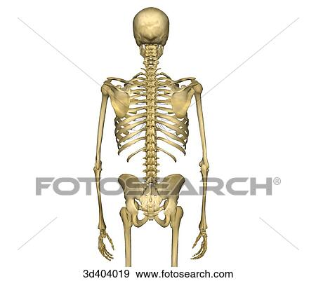Stock Illustration Of Posterior View Of Human Skeleton From Mid
