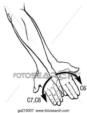 Stock Illustration Of Anterior View Of Myotomes Of The Upper Limb