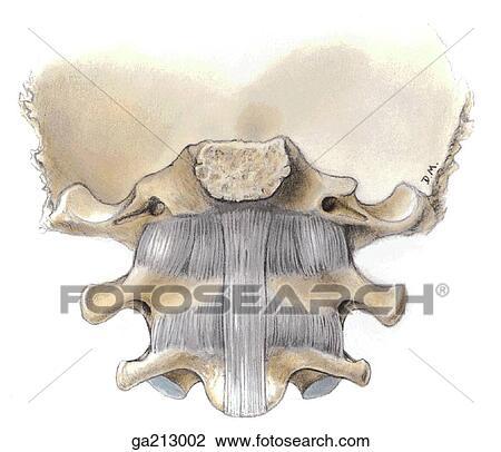 atlanto occipital joint