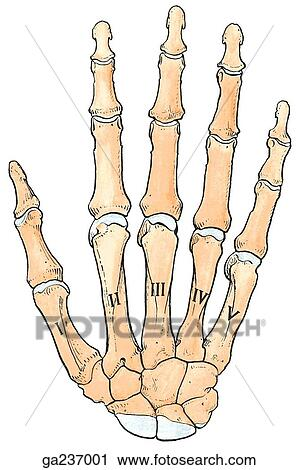 Clipart Of Dorsal View Of The Bones Of The Hand Ga237001 Search