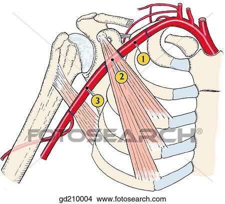 Axillary artery - Wikipedia