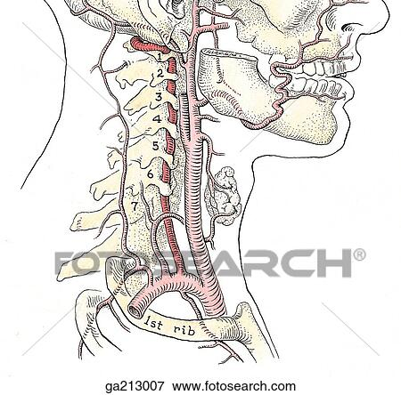Stock Illustration Of Lateral View Of The Vertebral Artery Red