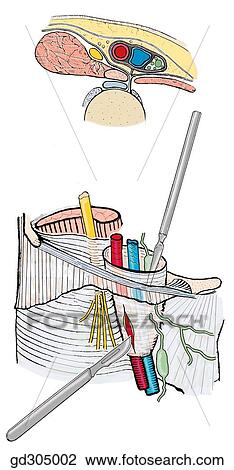 clip art of the femoral sheath and its three compartments. the, Muscles