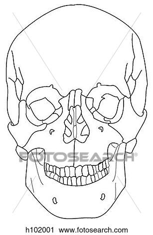 Clipart of Adult skull h102001 - Search Clip Art ...