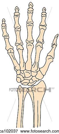 手腕骨骼结构图