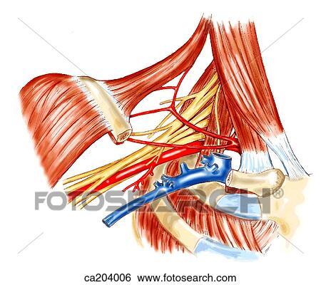 stock illustration of axillary artery and vein in