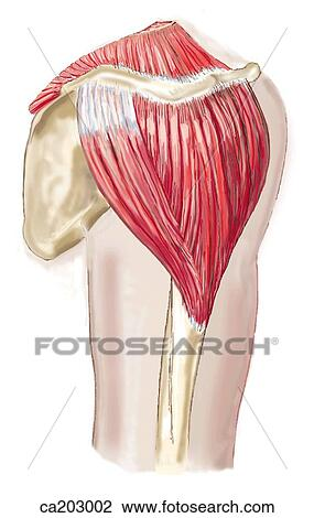 Clip Art Of Posterolateral View Of Shoulder Showing Deltoid Muscle