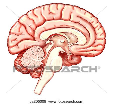 Stock Illustration Of Sagittal View Of Cerebrum Middle Brain And