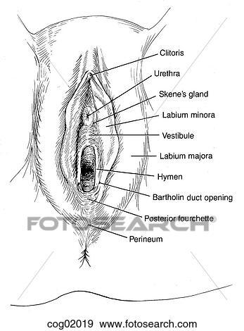 Vulva types drawing