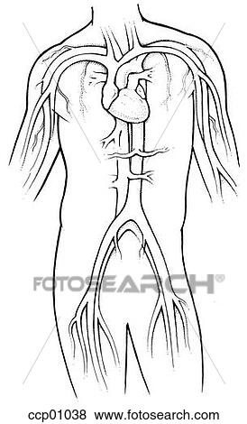 stock illustration of circulatory system ccp01038