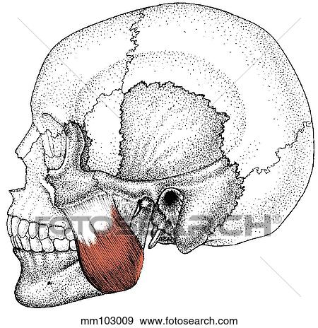 how to find masseter muscle