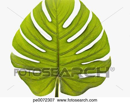 Big Leaf Palms Close up of Green Palm Leaf