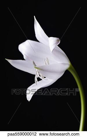 图吧- 白的百合花, 特写镜头