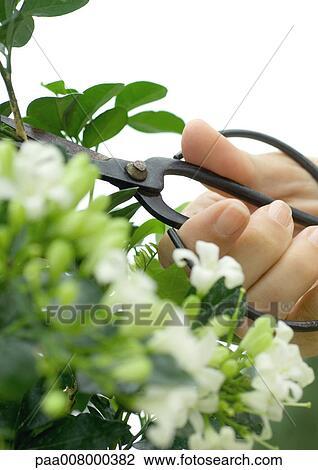 Archivio fotografico mano potatura gelsomino pianta for Gelsomino potatura