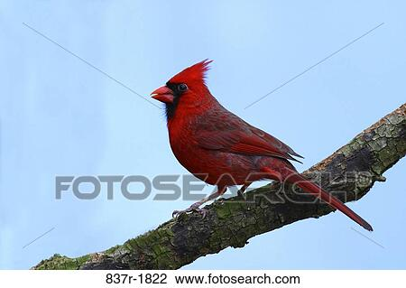 Stock Photo of Northern Cardinal on a branch 837r-1822 ...