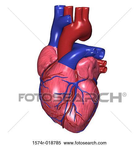 Banque d'Illustrations - coeur humain 1574r-018785 - Recherche de ...