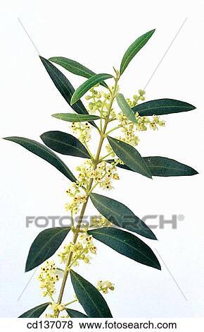 Images olivier olea europaea cd137078 recherchez des photos des images des - Olivier olea europaea prix ...