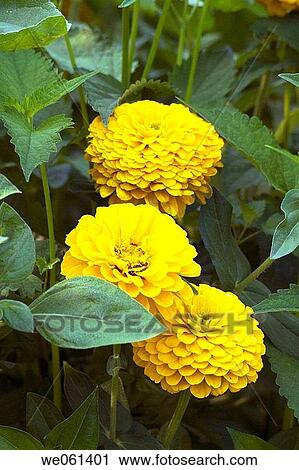 Stock photography of yellow zinnia flowers we061401 search stock yellow zinnia flowers mightylinksfo Choice Image