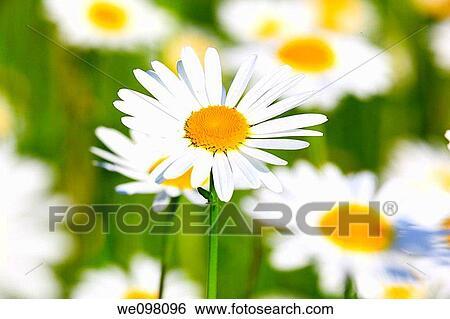 Stock Images of Margerite, Leucanthemum vulgare, oxeye ...