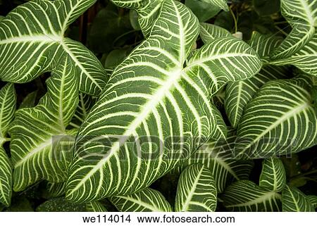 we114014 House Plant Leaves Colored Striped on gourds plants, lavender plants, ground cover plants, flowers plants, green plants, types of croton plants, leafy patio plants,