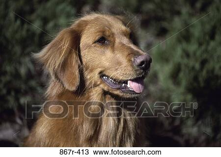 Stock Photo of coat, dog, sitting, pet, golden, animal, pant 867r ...