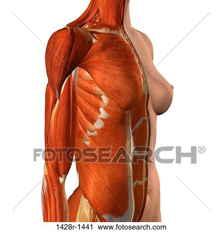 Stock Photography Of Cross Section Anatomy Of Female Chest And