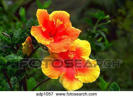 Image gros plan de rouge jaune fleur de a hibiscus for Hibiscus exterieur rouge