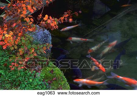 Stock Photo Of Koi Swimming In Pond Next To Japanese Maple