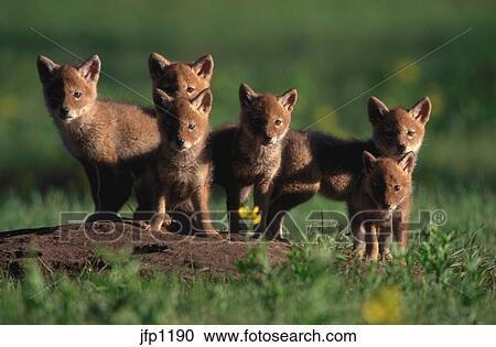 banques de photographies portrait de six coyote chiots canis latrans pendant. Black Bedroom Furniture Sets. Home Design Ideas