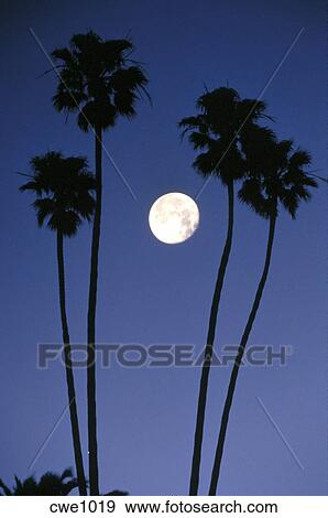 Silhouette Of Palm Trees At Night With Full Moon Laguna Beach California