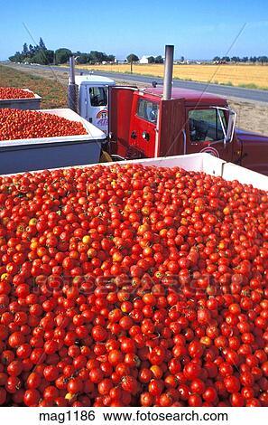 banque d 39 images traitement tomates sur camion. Black Bedroom Furniture Sets. Home Design Ideas