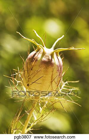 picture of nigella seed head pgb3807 search stock photography photos prints images and. Black Bedroom Furniture Sets. Home Design Ideas