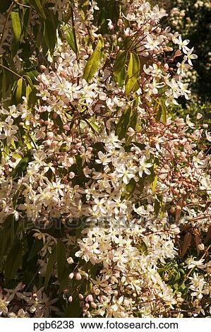 Pictures of clematis armandii early spring flowering clematis picture clematis armandii early spring flowering clematis growing in garden in southern france mightylinksfo Gallery
